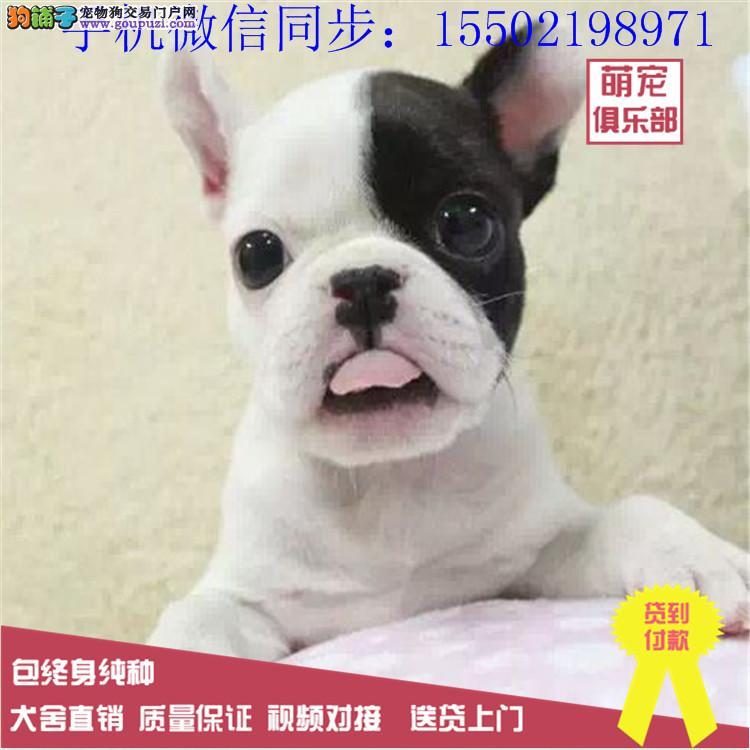 犬舍出售法牛 英牛 柯基 比熊 哈士奇等数只幼犬+3