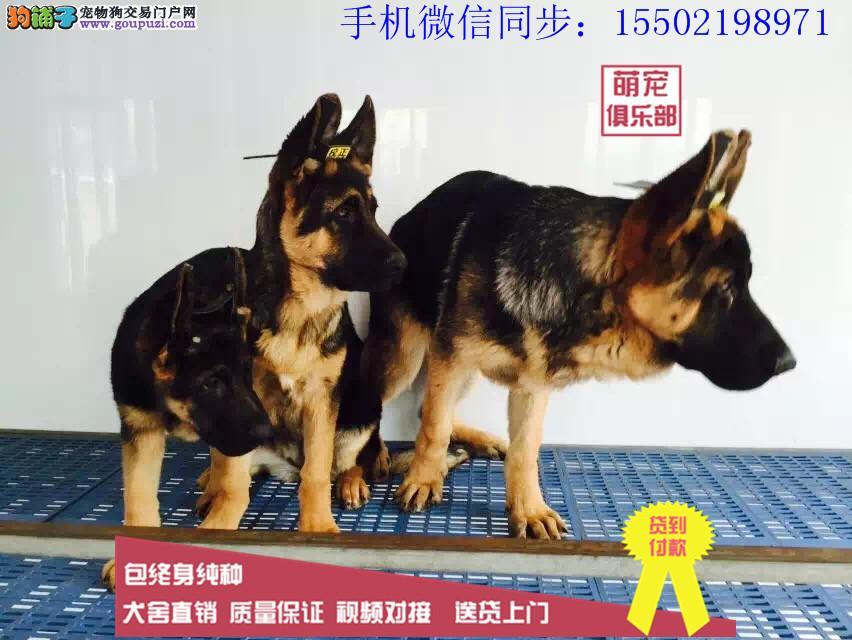 纯种德国牧羊犬 比熊 哈士奇 等数只幼犬+3