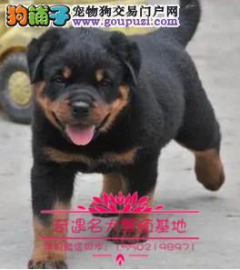猛犬罗威纳幼犬出售、大头宽嘴吧、公母可选、疫苗齐0.