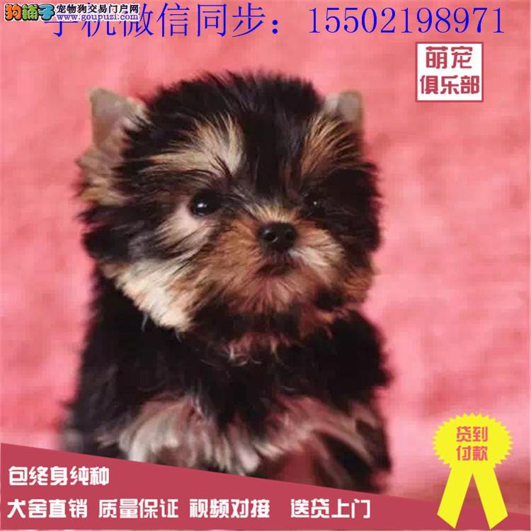 高贵约克夏幼犬出售、超级可爱健康质保纯种赛级的哟0