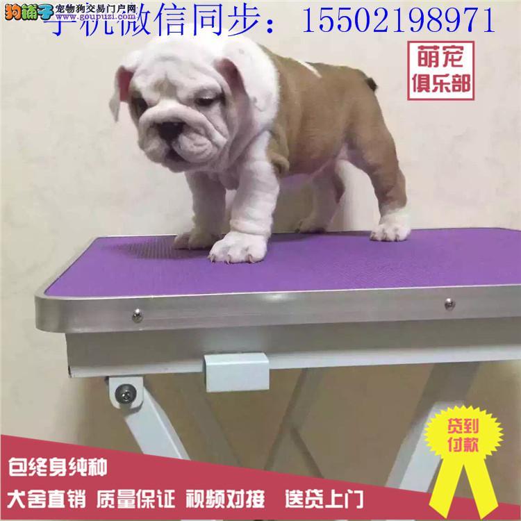 犬舍出售中型犬法国斗牛犬超级可爱蠢萌纯种陪伴的哟0
