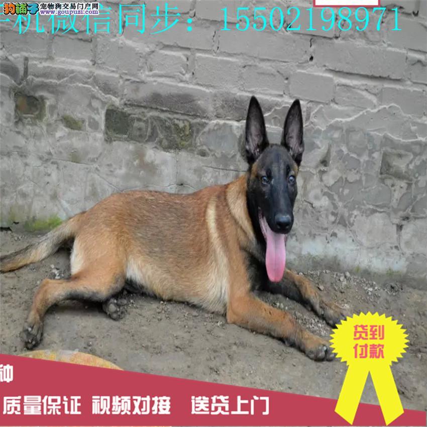 出售纯种比利时马犬强壮兴奋度高警觉性强动作灵敏0