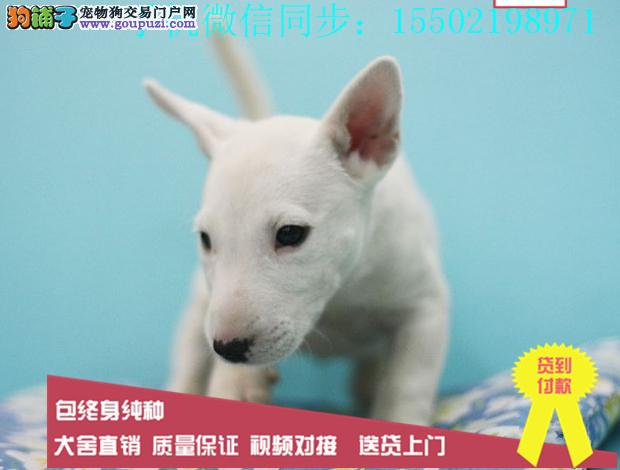 超强血统牛头梗纯种实物图片纯国外血系贵族名犬繁育0