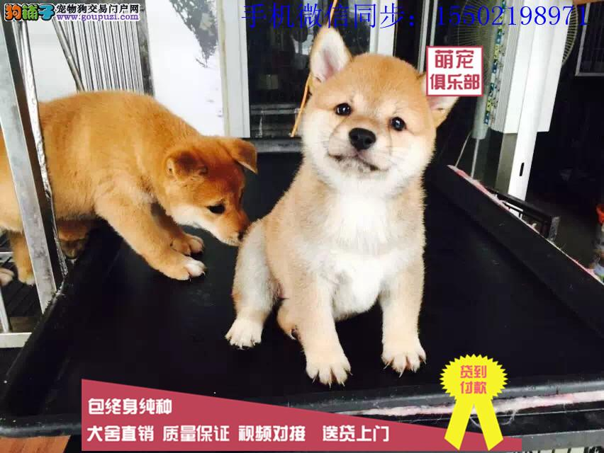 日本进口柴犬专卖 多窝小柴犬热销中 专业繁殖纯正9*