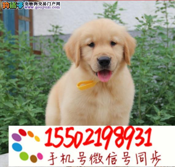 犬舍出售纯种 金毛 博美 哈士奇 比熊等名犬lll