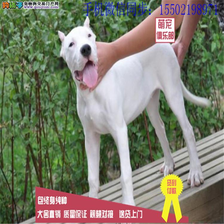 基地出售纯种杜高杜高幼犬赛级杜高犬 已做疫苗驱虫 /
