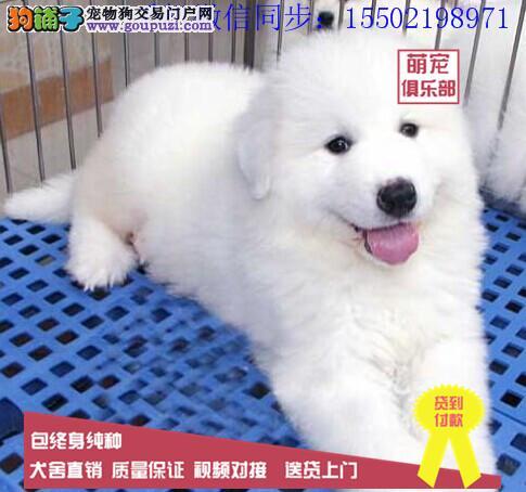 纯血统繁殖超大骨量赛级双冠大白熊幼犬出售健康签质/
