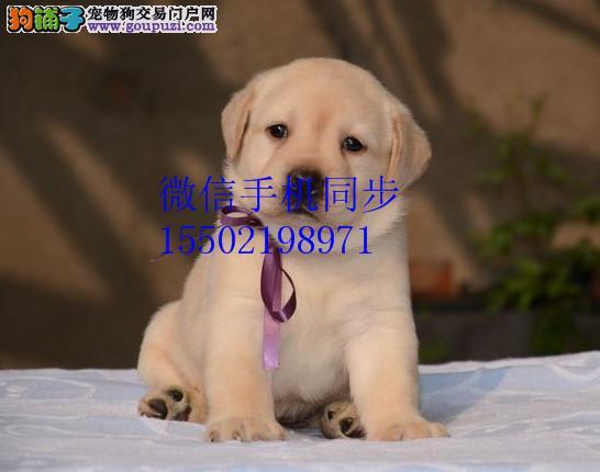 出售纯种的聪明的拉布拉多幼犬品相好头版好 健康的哟