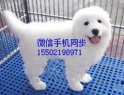 纯血统繁殖超大骨量赛级大白熊幼犬出售健康签质的哟