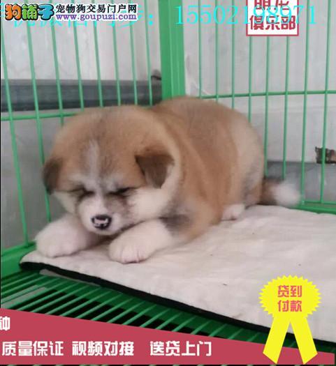 冠军级血统日本秋田犬可爱国外登陆冠军级后代 国际证0