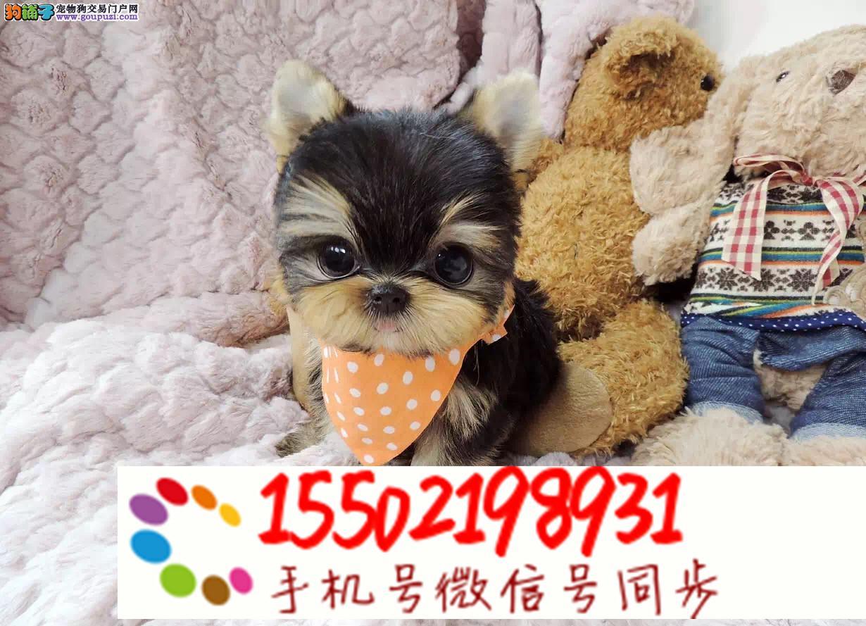犬舍出售高贵纯种约克夏幼犬 健康质保lll