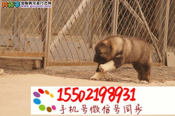 出售纯种熊版毛量高加索幼犬多只选择