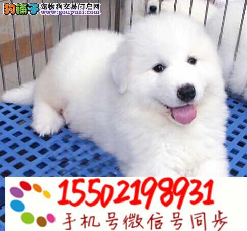 纯种大白熊幼犬/宠物狗狗D/包纯种