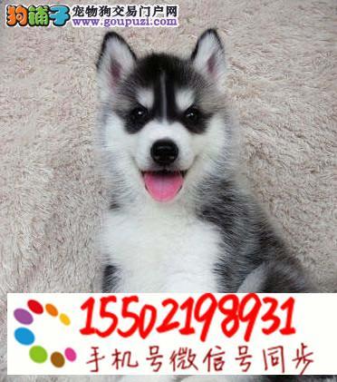 犬舍出售哈士奇金毛阿拉斯加等名犬z8