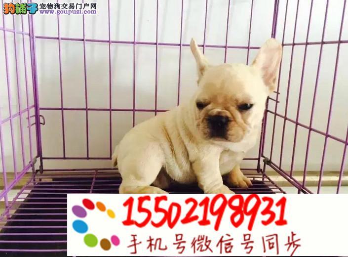 犬舍出售中型犬 法牛,英牛,柯基z8