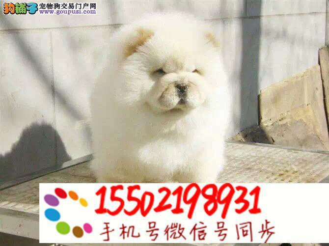 极品松狮幼犬 很憨厚很可爱 毛茸茸z8