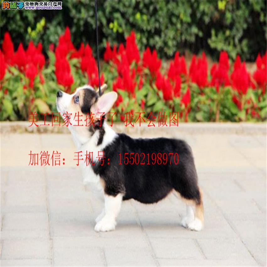 名犬基地直销 纯血统精品级 柯基