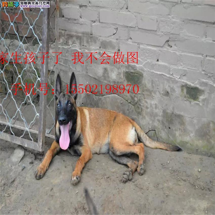 名犬基地直销 纯血统精品级 马犬