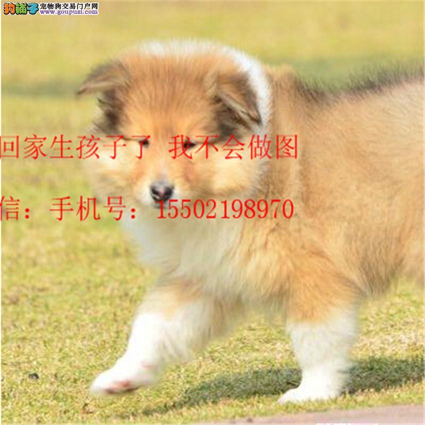 名犬基地直销 纯血统精品级苏牧