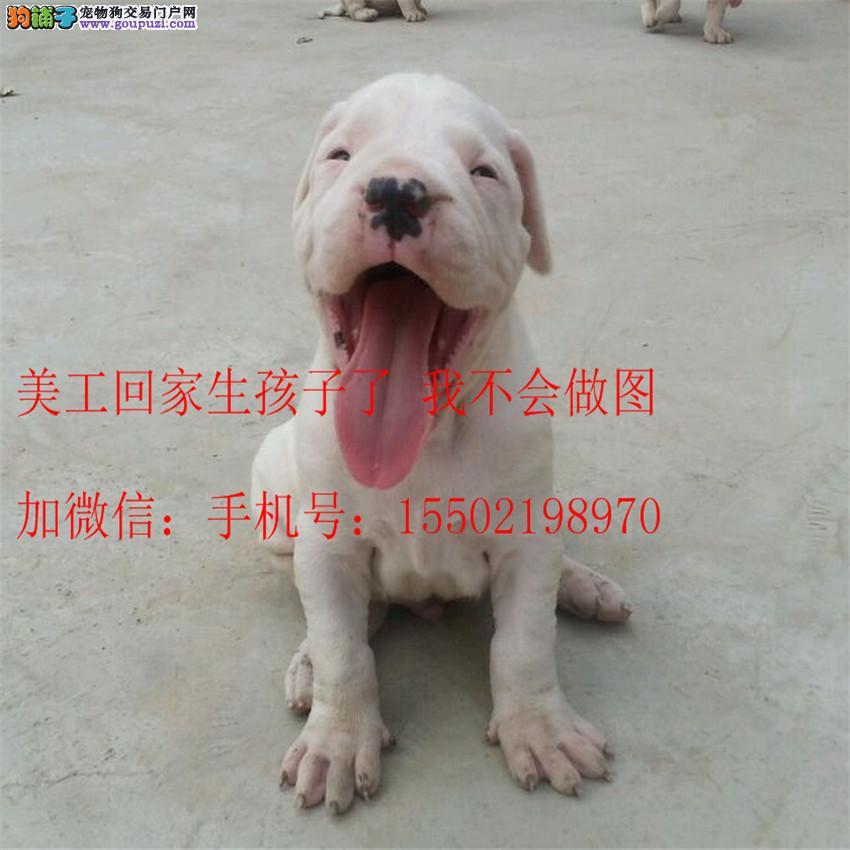 名犬基地直销 纯血统精品级 杜高