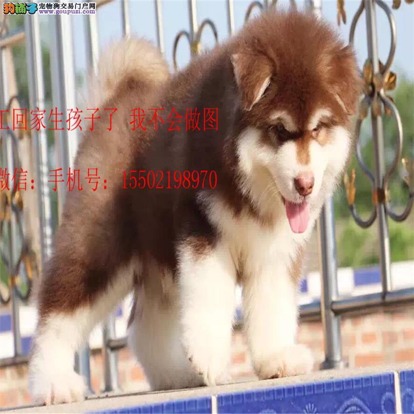 名犬基地直销 纯血统精品 阿拉斯加