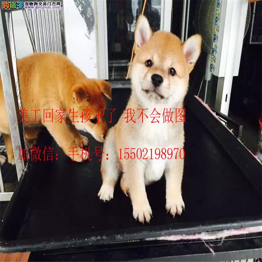 名犬基地直销 纯血统精品级 柴犬