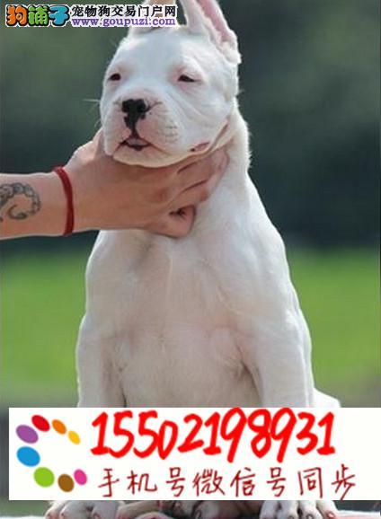 基地出售纯种杜高幼犬已做疫苗驱虫保健康