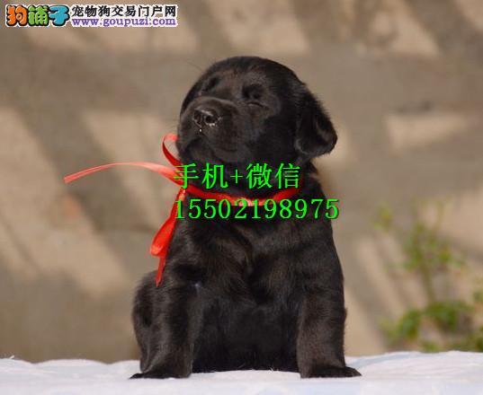 &^%出售纯种的聪明的拉布拉多幼犬品相好头版好 健康