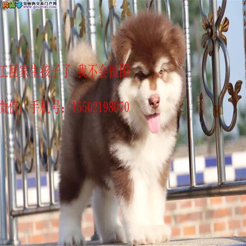 正规名犬基地出售 精品级 阿拉斯加