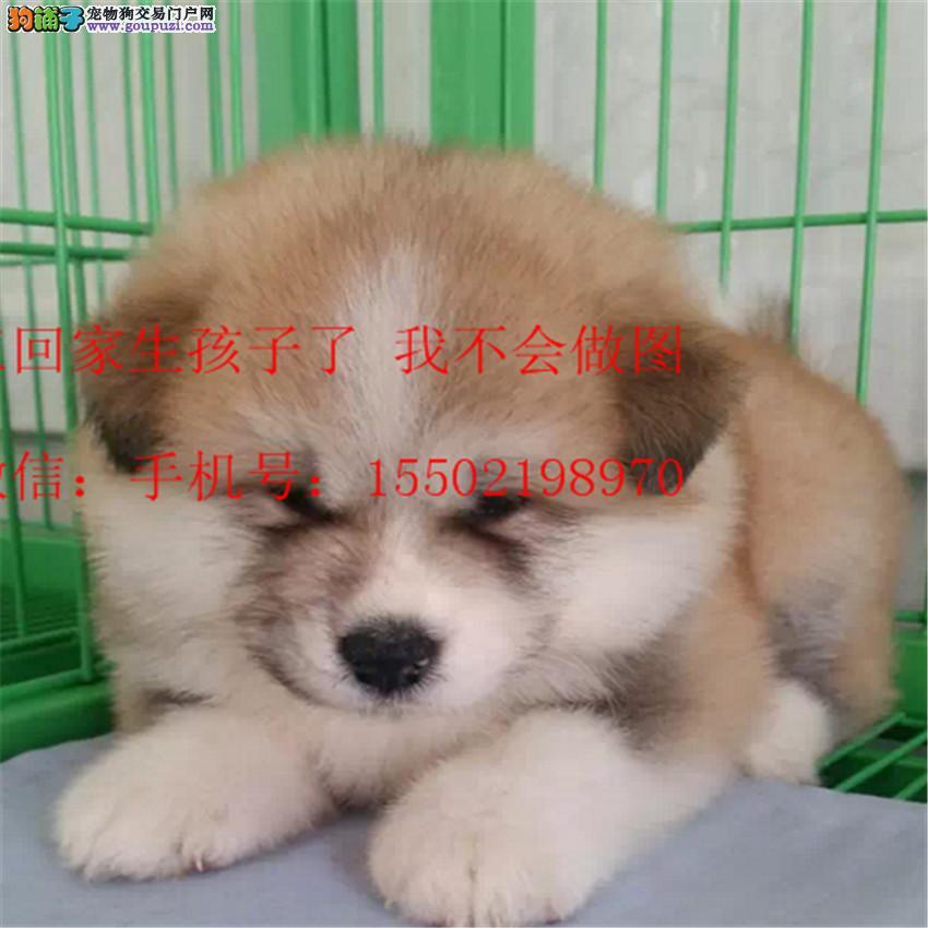 正规名犬基地出售 精品纯种 日本秋田