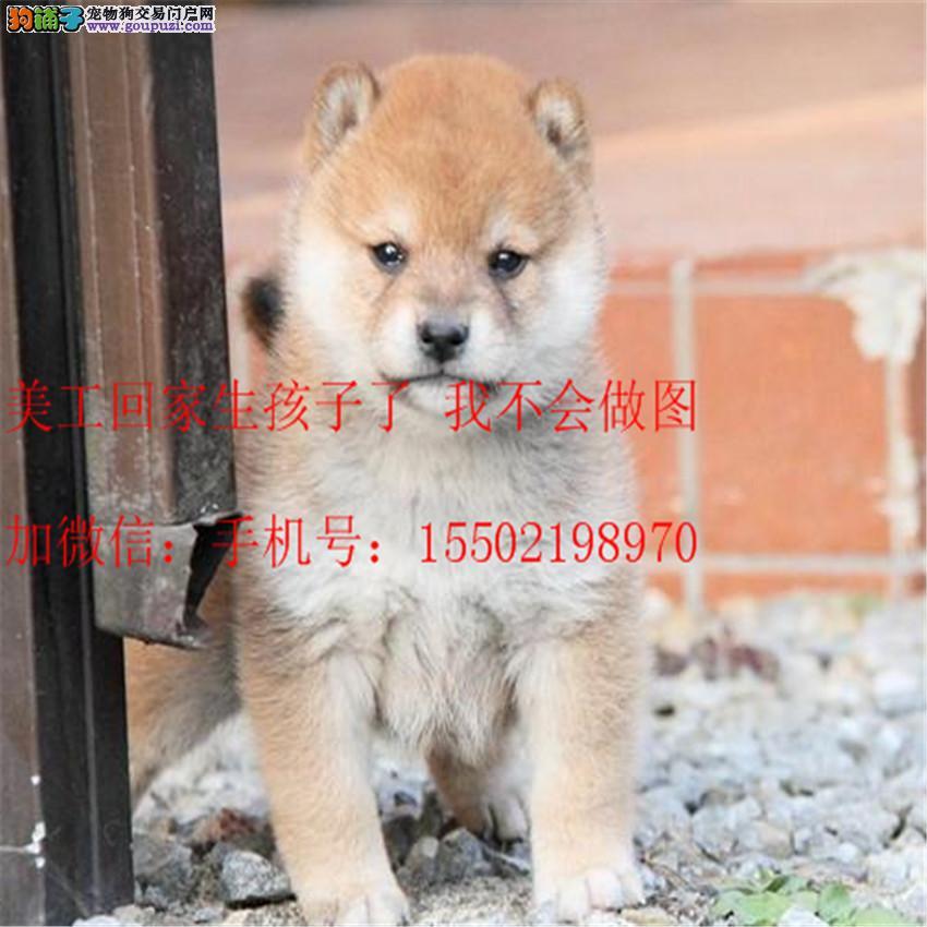 正规名犬基地出售 精品级纯种 柴犬