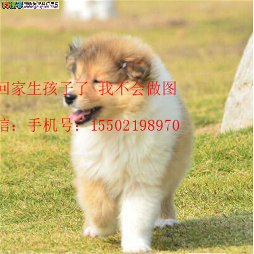 正规名犬基地出售 纯种精品 苏格兰牧羊犬