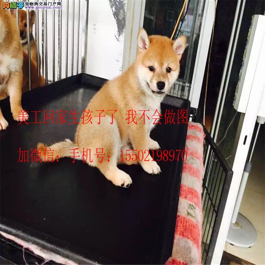 正规名犬基地出售 纯种赛级 柴犬