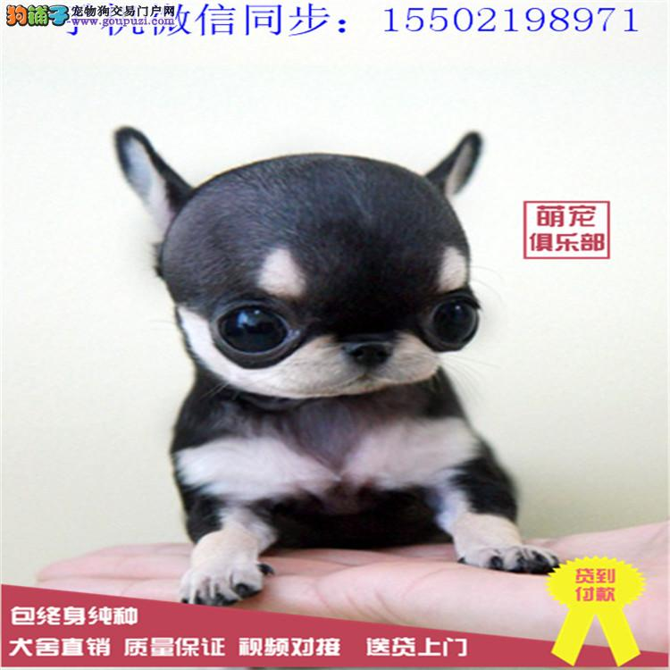 基地直销纯种可爱吉娃娃等品种幼犬保健康送用品0