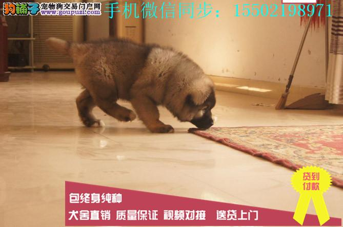0出售纯种熊版大头版大骨架好毛量高加索幼犬多只选择