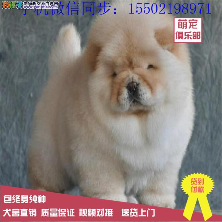 极品纯种松狮幼犬,很憨厚,很可爱,毛茸茸肉嘴面包嘴0