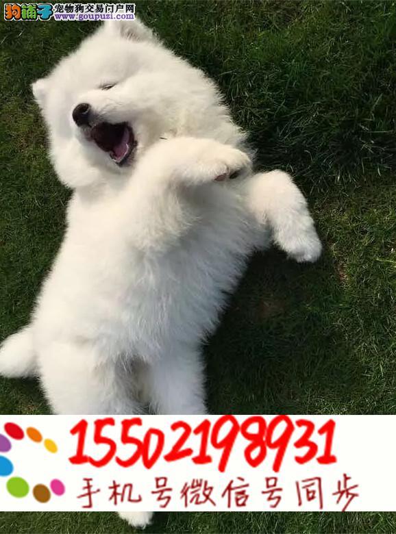 ·犬舍出售纯种萨摩耶幼犬赛级品质冠军血统萨摩耶./