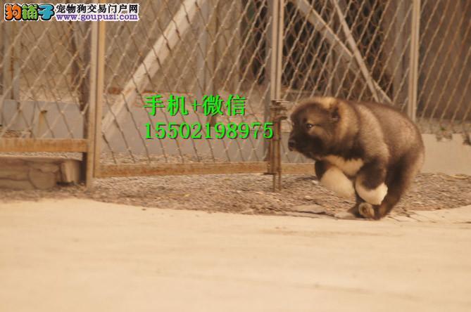 ·~~出售纯种熊版大头版好毛量高加索幼犬多只选择
