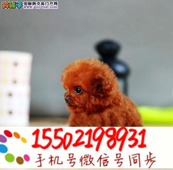出售纯种健康的优质贵宾犬,血统纯、品相好 9* *63