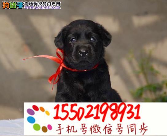 16+售纯种的聪明的拉布拉多幼犬品相好头版好 健康
