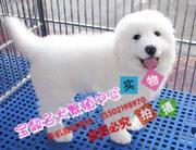 纯血统繁殖超大骨量双冠大白熊幼犬出售健康签质ii