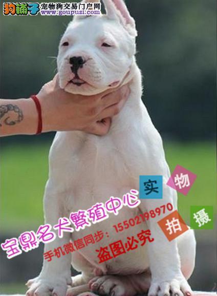 基地出售纯种杜高杜高幼犬 疫苗驱虫iii