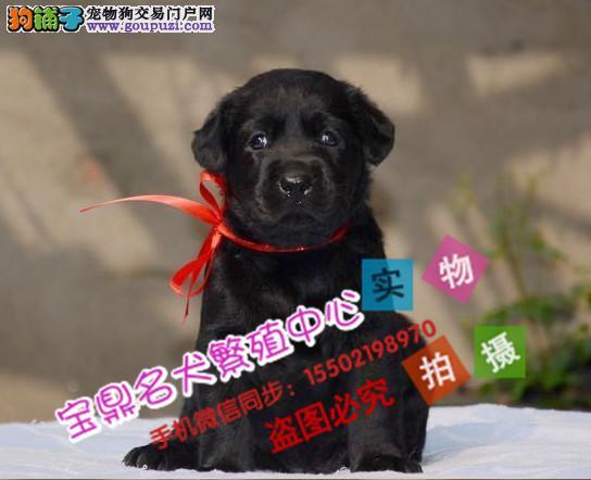 出售纯种的聪明的拉布拉多幼犬品相好头版好 健康dd