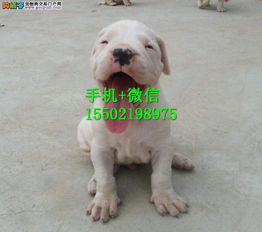 基地出售纯种杜高杜高幼犬赛级杜高犬 已做疫苗驱虫QQ