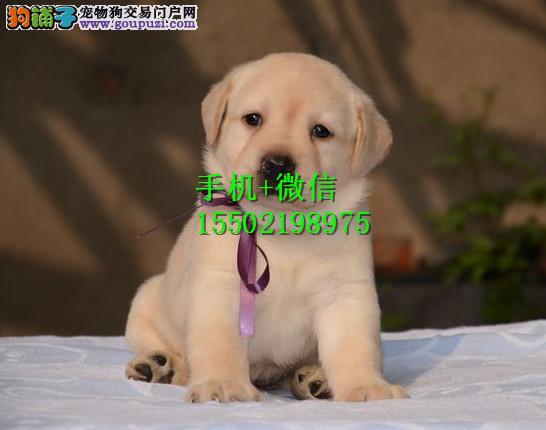 出售纯种的聪明的拉布拉多幼犬品相好头版好 健康QQ