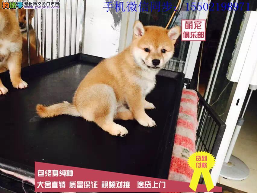 日本进口柴犬专卖 多窝小柴犬热销中 专业繁殖纯正嗯呢