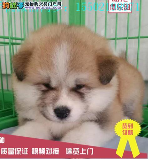 冠军级血统日本秋田犬 国外登陆冠军级后代 国际证嗯呢