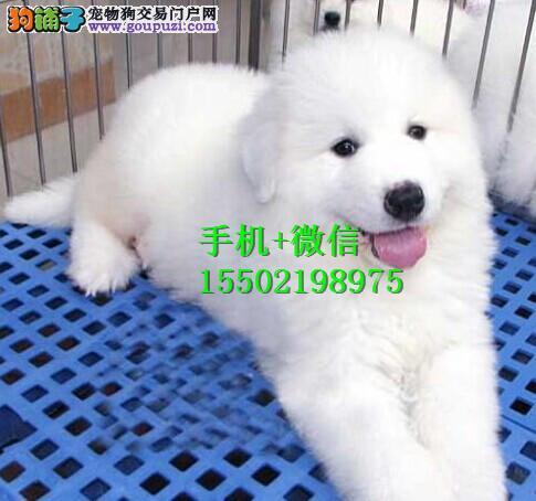 纯血统繁殖超大骨量赛级双冠大白熊幼犬出售健康签质aa