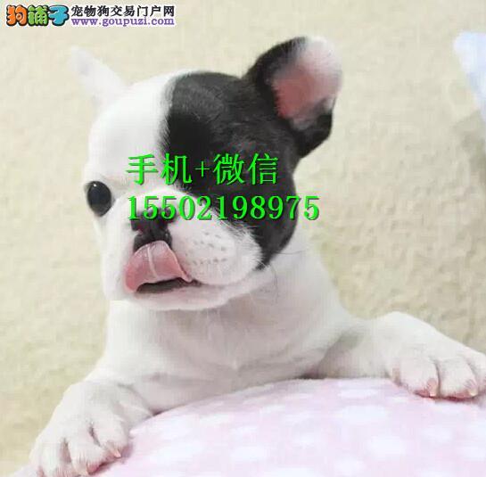 犬舍出售中型犬 法牛,英牛,柯基,巴哥,雪纳瑞aa