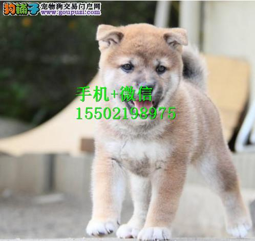 日本进口柴犬专卖 多窝小柴犬热销中 专业繁殖纯正aa